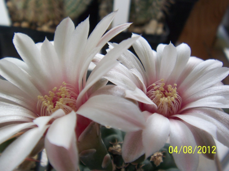 Cacti and Sukkulent in Köln, every day new flowers in the greenhouse Part 21   Bild_283