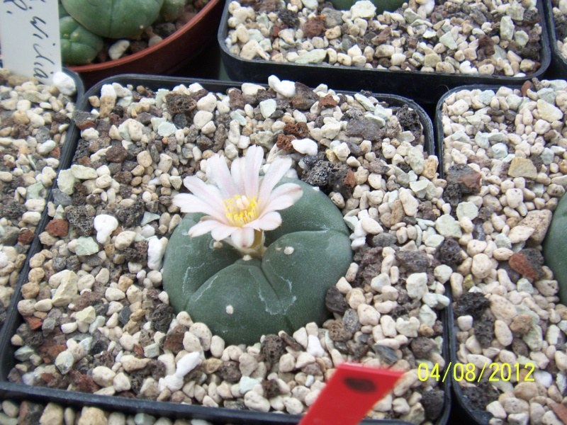 Cacti and Sukkulent in Köln, every day new flowers in the greenhouse Part 21   Bild_289