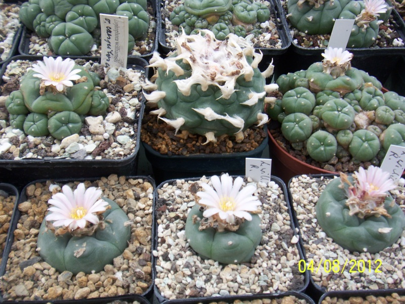 Cacti and Sukkulent in Köln, every day new flowers in the greenhouse Part 21   Bild_290