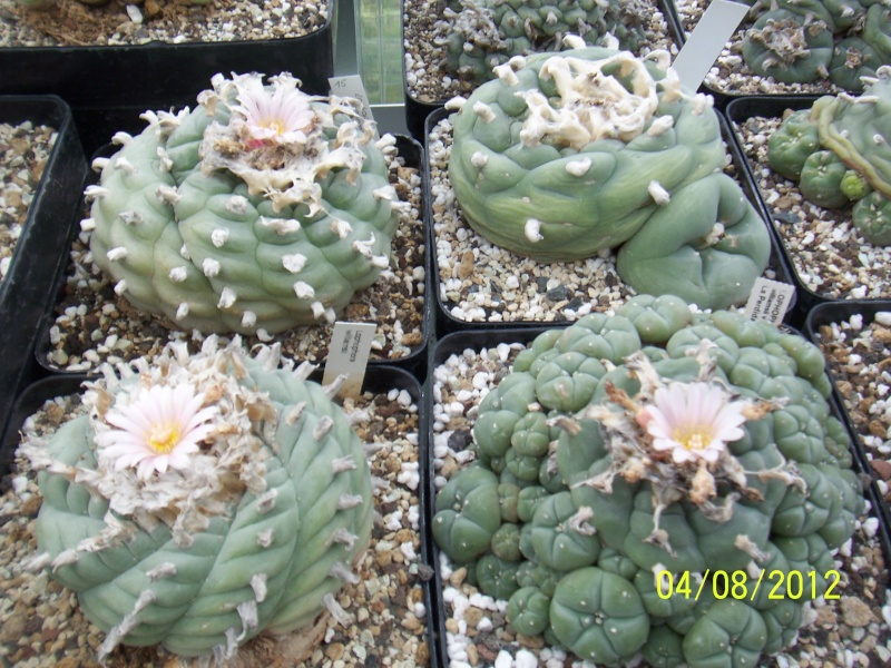 Cacti and Sukkulent in Köln, every day new flowers in the greenhouse Part 21   Bild_291