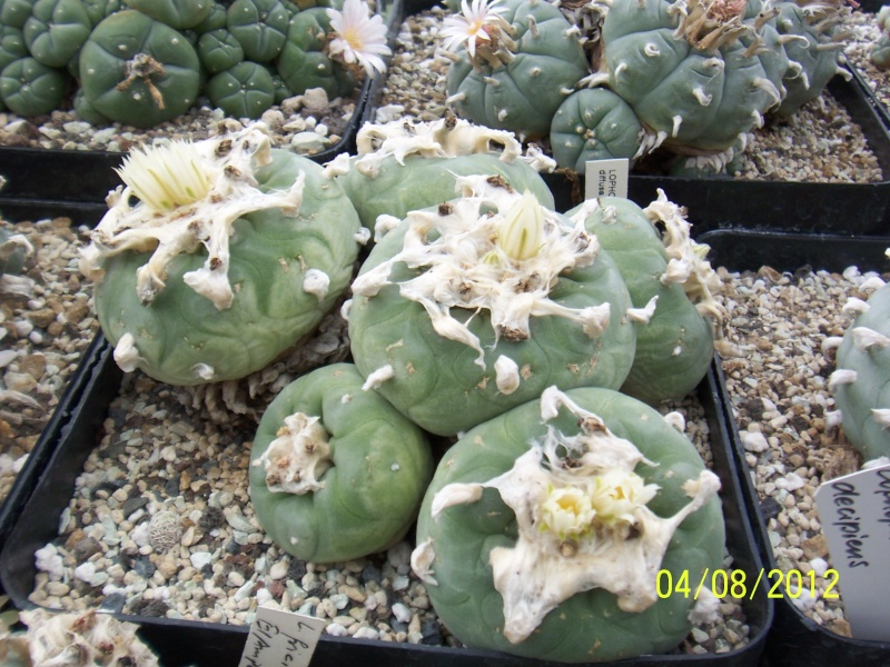 Cacti and Sukkulent in Köln, every day new flowers in the greenhouse Part 21   Bild_292