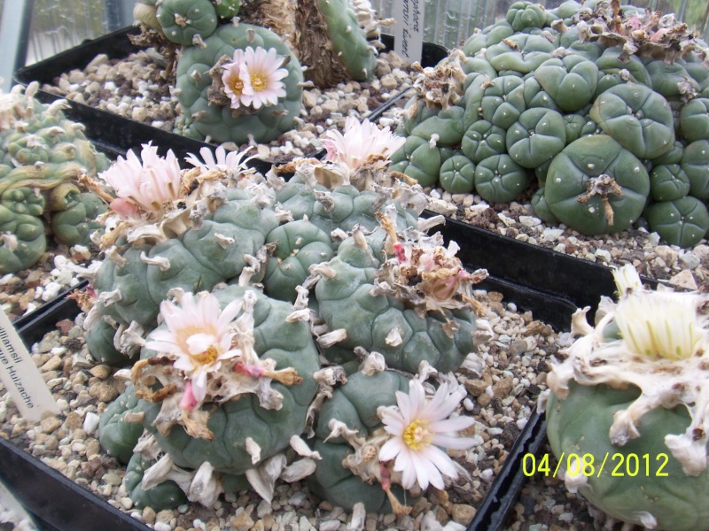 Cacti and Sukkulent in Köln, every day new flowers in the greenhouse Part 21   Bild_294