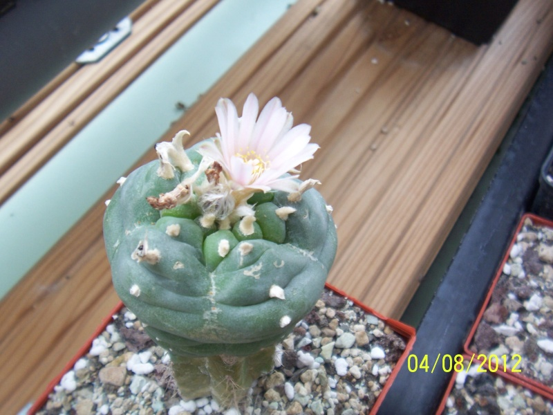 Cacti and Sukkulent in Köln, every day new flowers in the greenhouse Part 21   Bild_296