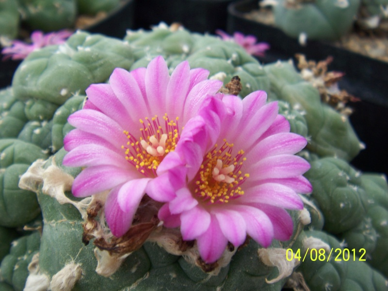 Cacti and Sukkulent in Köln, every day new flowers in the greenhouse Part 21   Bild_298