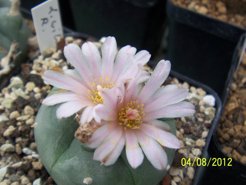 Cacti and Sukkulent in Köln, every day new flowers in the greenhouse Part 21   Bild_299