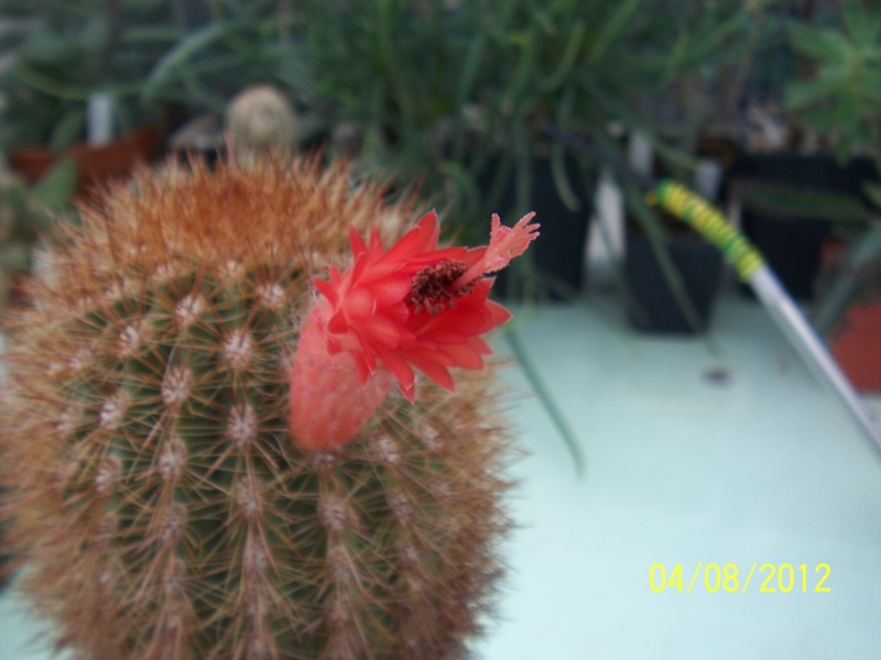 Cacti and Sukkulent in Köln, every day new flowers in the greenhouse Part 21   Bild_300