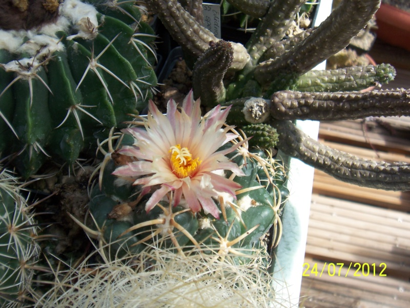 Cacti and Sukkulent in Köln, every day new flowers in the greenhouse Part 14  Bild_318