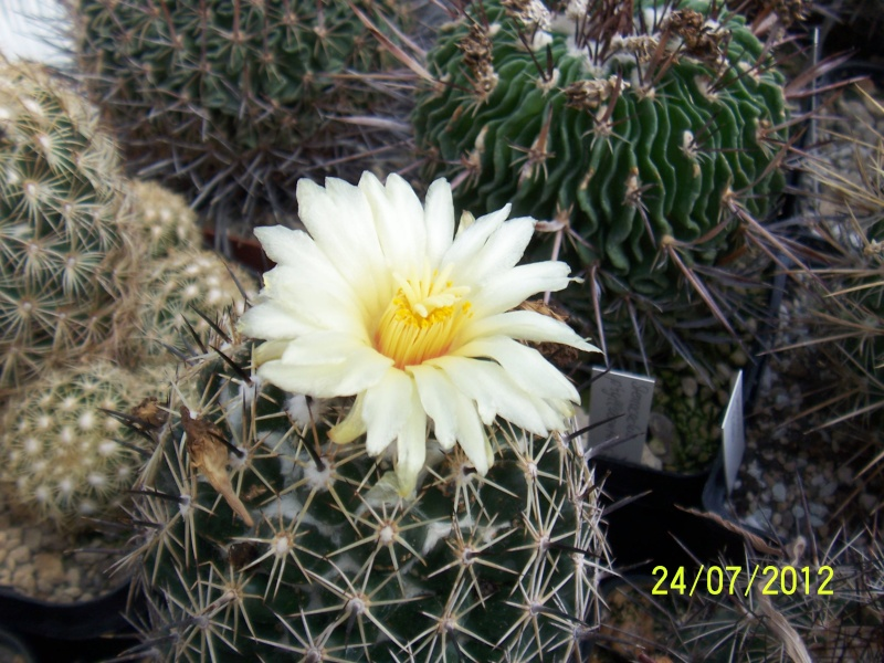Cacti and Sukkulent in Köln, every day new flowers in the greenhouse Part 14  Bild_319