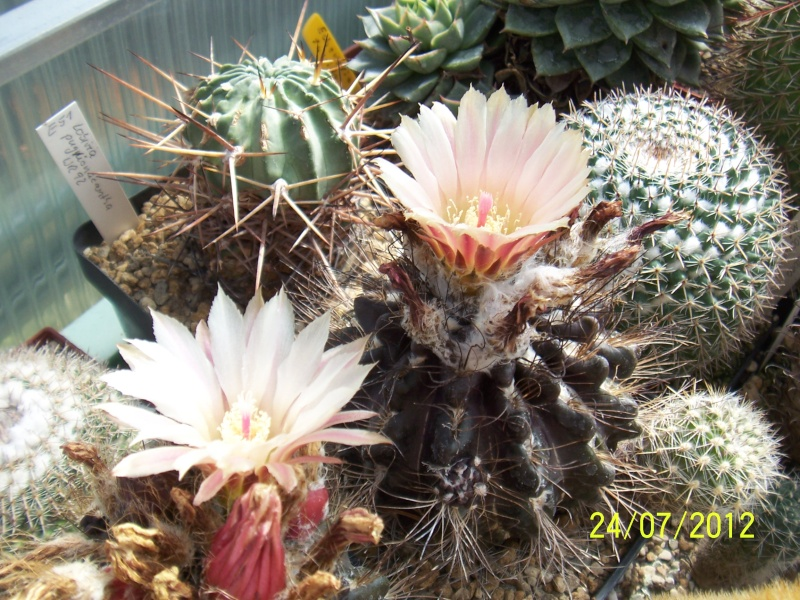 Cacti and Sukkulent in Köln, every day new flowers in the greenhouse Part 14  Bild_321