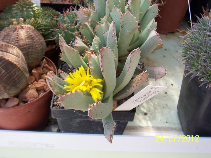 Cacti and Sukkulent in Köln, every day new flowers in the greenhouse Part 14  Bild_323