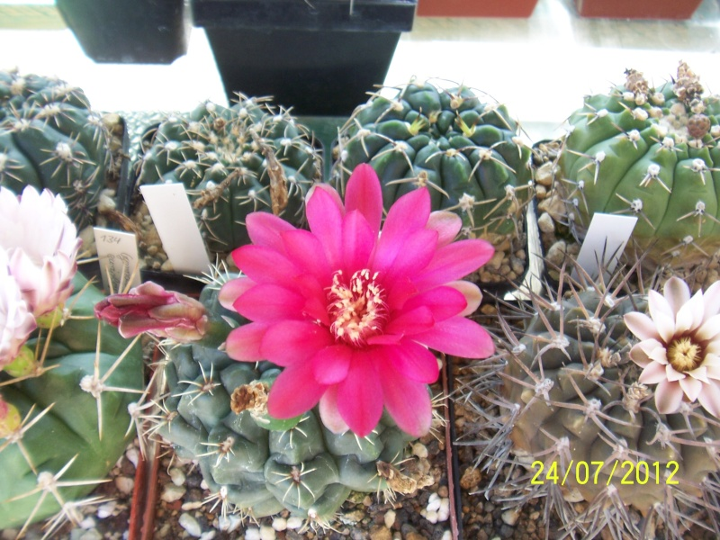 Cacti and Sukkulent in Köln, every day new flowers in the greenhouse Part 14  Bild_329