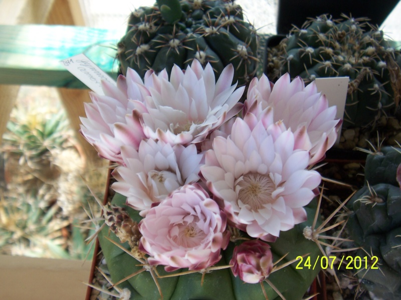 Cacti and Sukkulent in Köln, every day new flowers in the greenhouse Part 14  Bild_330