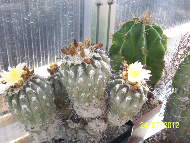 Cacti and Sukkulent in Köln, every day new flowers in the greenhouse Part 14  Bild_332