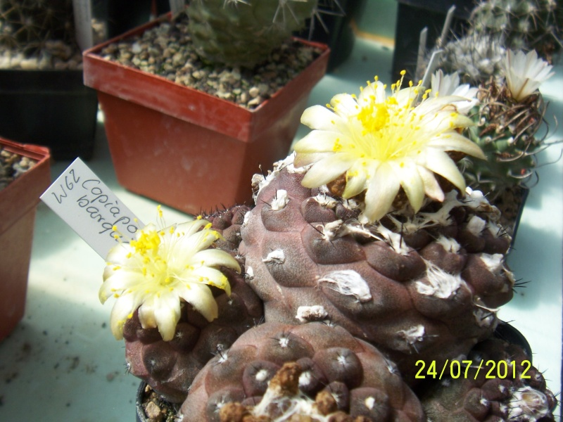 Cacti and Sukkulent in Köln, every day new flowers in the greenhouse Part 14  Bild_333