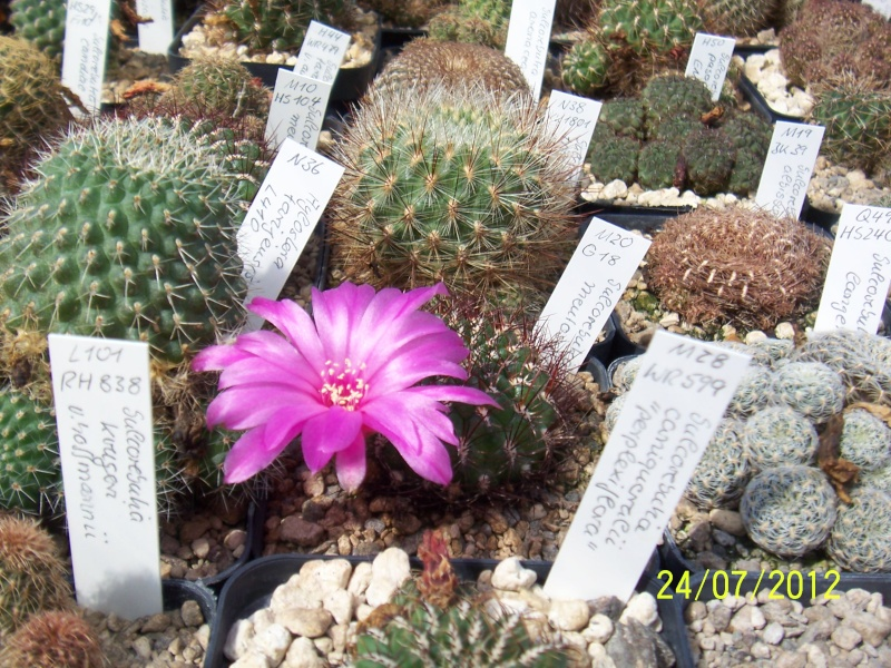 Cacti and Sukkulent in Köln, every day new flowers in the greenhouse Part 14  Bild_335