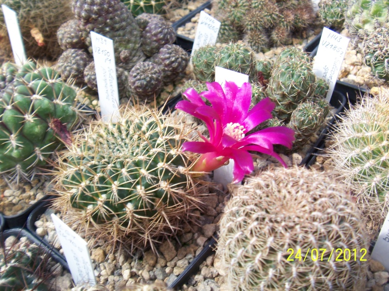 Cacti and Sukkulent in Köln, every day new flowers in the greenhouse Part 14  Bild_336