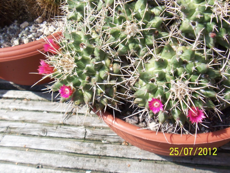 Cacti and Sukkulent in Köln, every day new flowers in the greenhouse Part 15   Bild_345