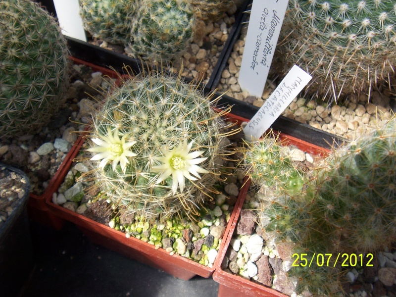 Cacti and Sukkulent in Köln, every day new flowers in the greenhouse Part 15   Bild_353