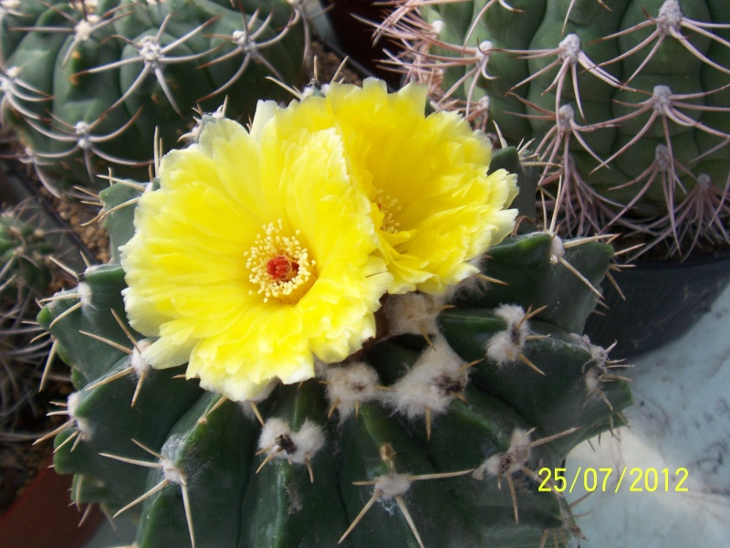 Cacti and Sukkulent in Köln, every day new flowers in the greenhouse Part 15   Bild_357