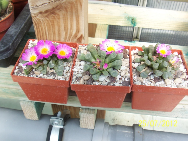 Cacti and Sukkulent in Köln, every day new flowers in the greenhouse Part 15   Bild_363