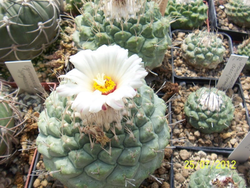 Cacti and Sukkulent in Köln, every day new flowers in the greenhouse Part 15   Bild_364