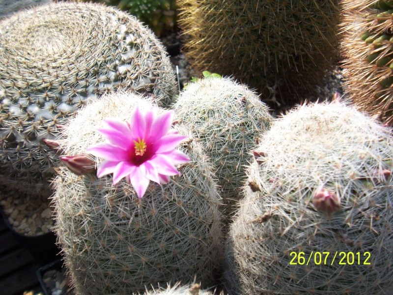 Cacti and Sukkulent in Köln, every day new flowers in the greenhouse Part 16   Bild_370