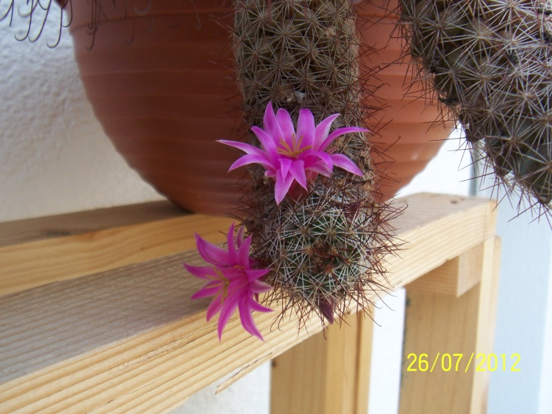 Cacti and Sukkulent in Köln, every day new flowers in the greenhouse Part 16   Bild_372
