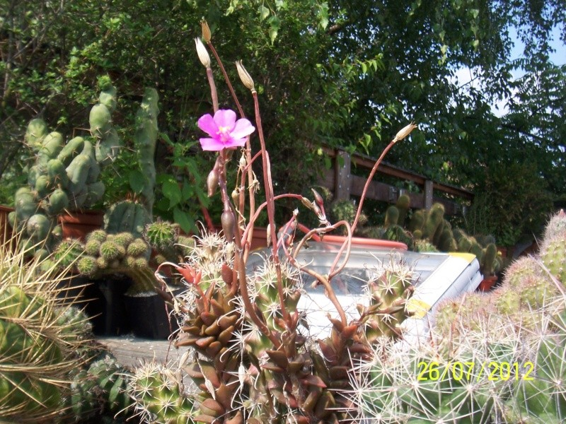 Cacti and Sukkulent in Köln, every day new flowers in the greenhouse Part 16   Bild_374
