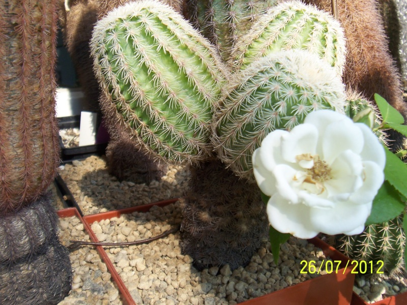 Cacti and Sukkulent in Köln, every day new flowers in the greenhouse Part 16   Bild_380
