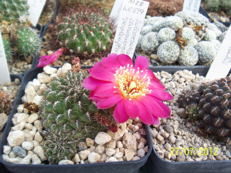 Cacti and Sukkulent in Köln, every day new flowers in the greenhouse Part 16   Bild_382