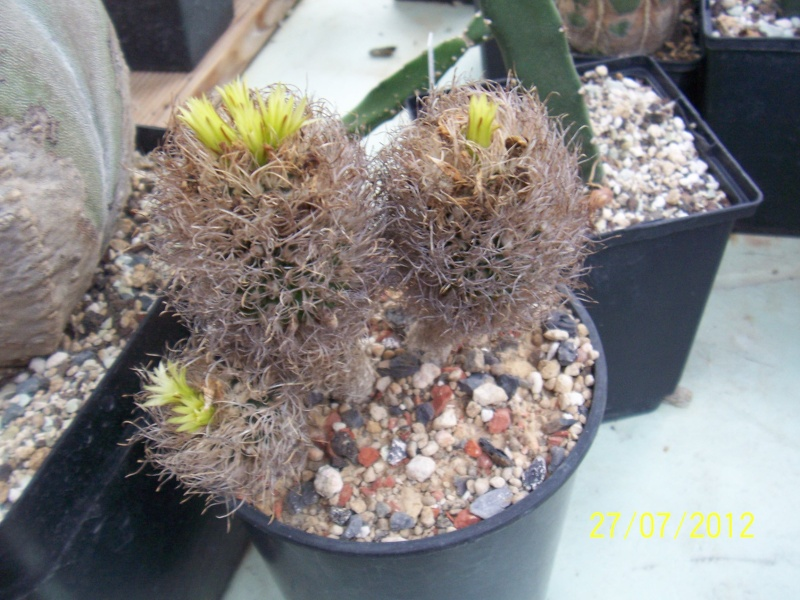 Cacti and Sukkulent in Köln, every day new flowers in the greenhouse Part 16   Bild_389