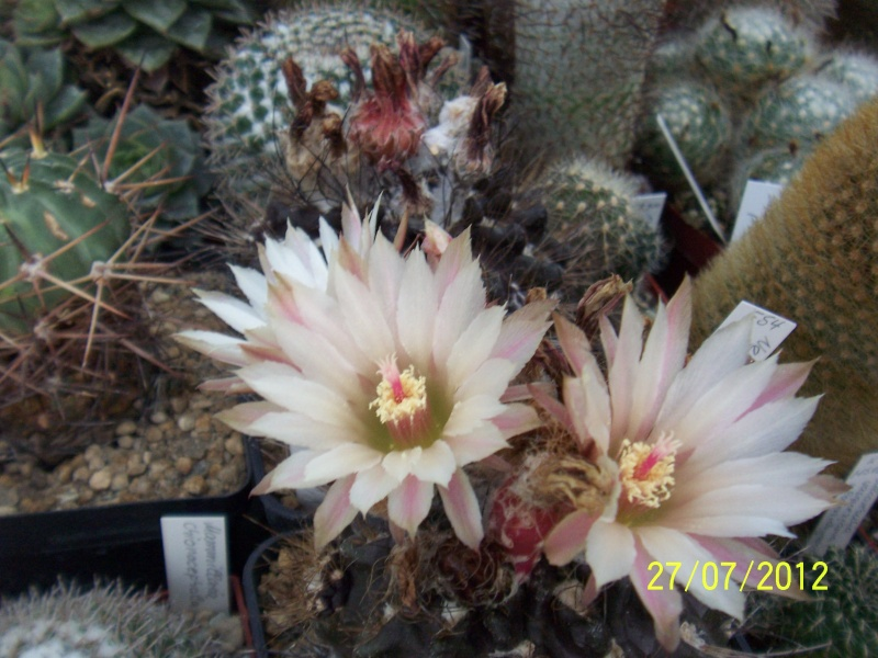 Cacti and Sukkulent in Köln, every day new flowers in the greenhouse Part 16   Bild_390