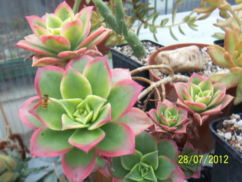Cacti and Sukkulent in Köln, every day new flowers in the greenhouse Part 17   Bild_398