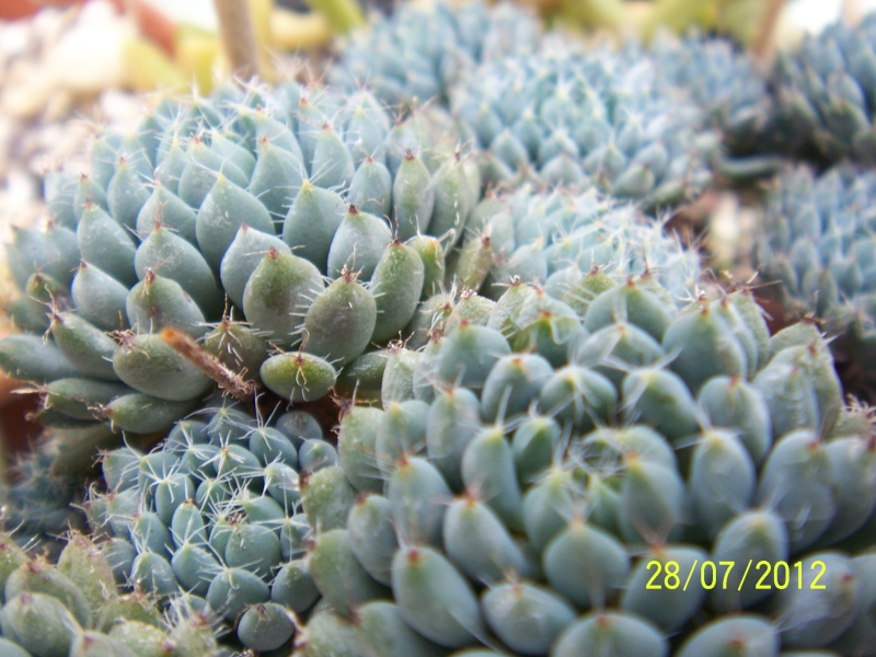 Cacti and Sukkulent in Köln, every day new flowers in the greenhouse Part 17   Bild_399