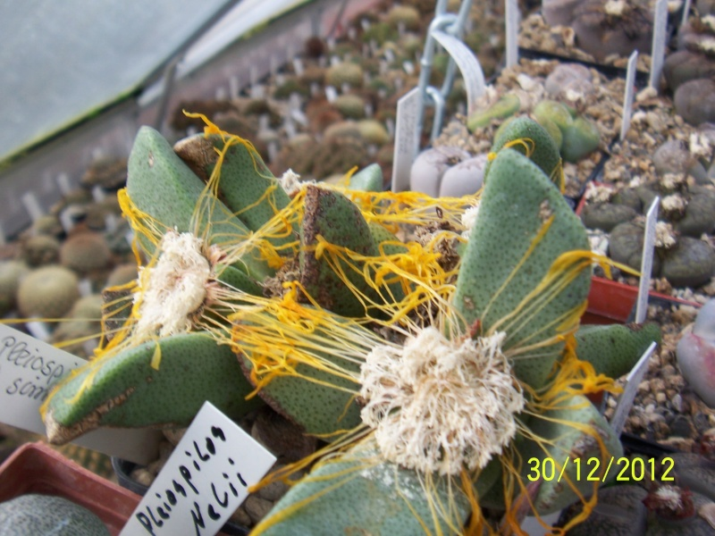 Cacti and Sukkulent in Köln, every day new flowers in the greenhouse Part 21   Bild_427