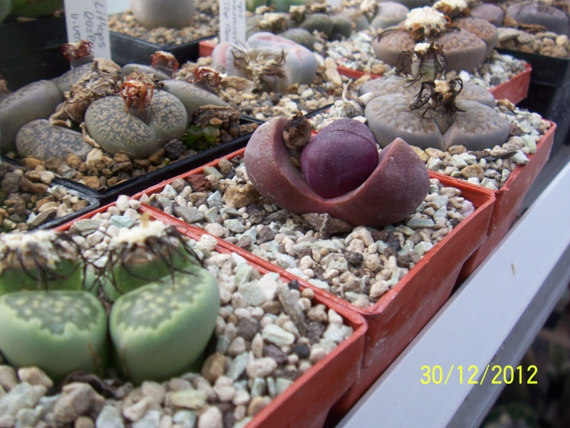 Cacti and Sukkulent in Köln, every day new flowers in the greenhouse Part 21   Bild_428