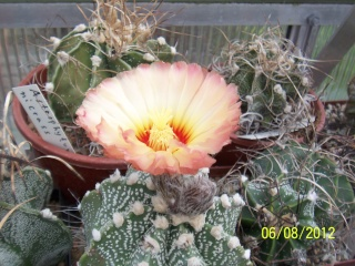 Cacti and Sukkulent in Köln, every day new flowers in the greenhouse Part 23  Bild_491