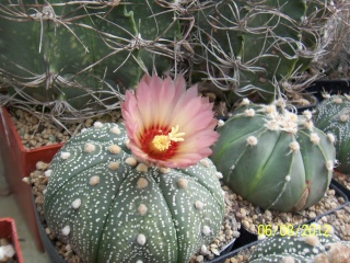Cacti and Sukkulent in Köln, every day new flowers in the greenhouse Part 23  Bild_492