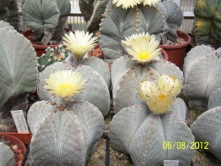 Cacti and Sukkulent in Köln, every day new flowers in the greenhouse Part 23  Bild_499