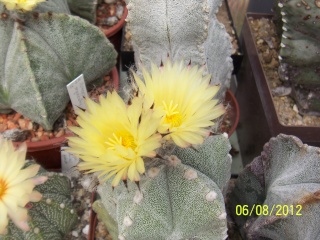 Cacti and Sukkulent in Köln, every day new flowers in the greenhouse Part 23  Bild_500