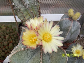 Cacti and Sukkulent in Köln, every day new flowers in the greenhouse Part 23  Bild_503