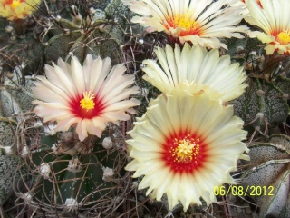 Cacti and Sukkulent in Köln, every day new flowers in the greenhouse Part 23  Bild_505