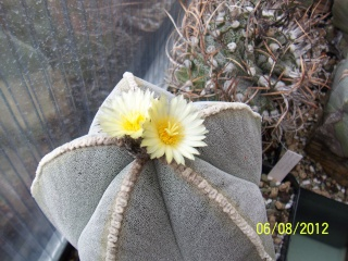 Cacti and Sukkulent in Köln, every day new flowers in the greenhouse Part 23  Bild_506
