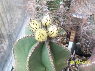 Cacti and Sukkulent in Köln, every day new flowers in the greenhouse Part 23  Bild_508