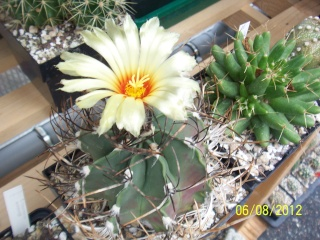 Cacti and Sukkulent in Köln, every day new flowers in the greenhouse Part 23  Bild_518
