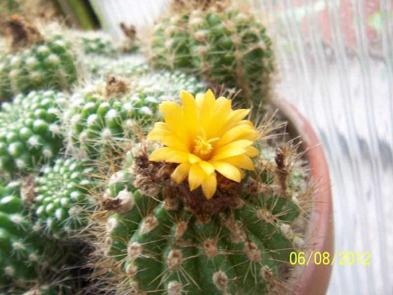 Cacti and Sukkulent in Köln, every day new flowers in the greenhouse Part 23  Bild_528
