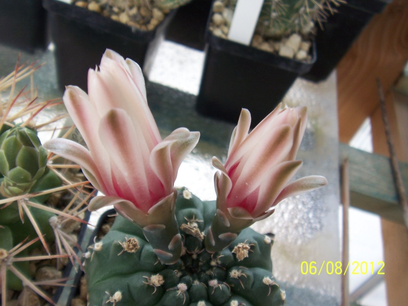 Cacti and Sukkulent in Köln, every day new flowers in the greenhouse Part 23  Bild_532