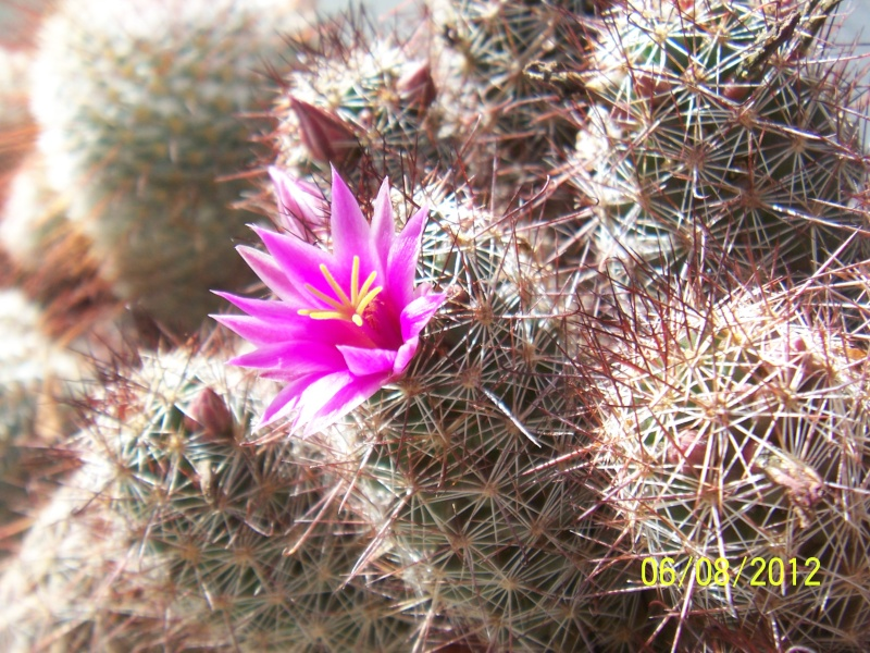 Cacti and Sukkulent in Köln, every day new flowers in the greenhouse Part 23  Bild_535