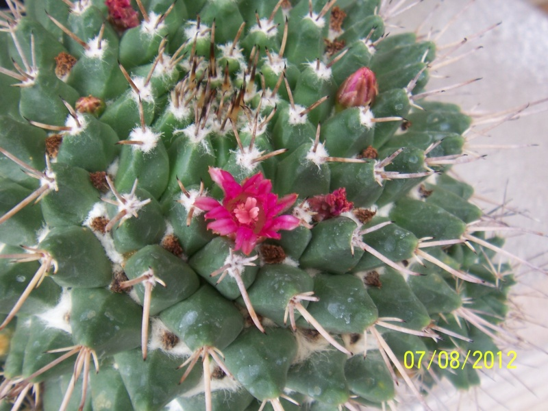 Cacti and Sukkulent in Köln, every day new flowers in the greenhouse Part 24   Bild_545
