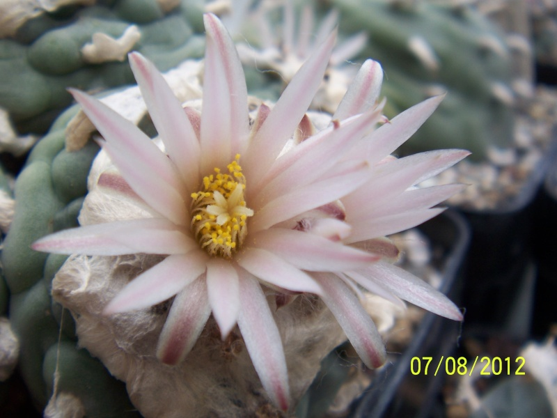 Cacti and Sukkulent in Köln, every day new flowers in the greenhouse Part 24   Bild_550